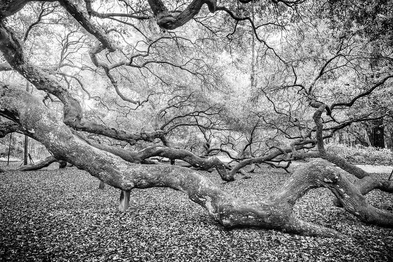 Canopy and Spread of the Angel Oak tree, John's Island, SC