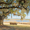 Swing and live oak overlooking rice fields