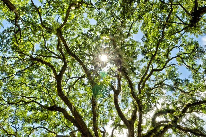Sunburst through the oak canopy, McLeod Plantation