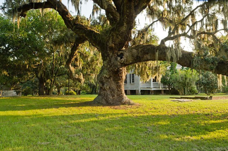 Massive old oak tree