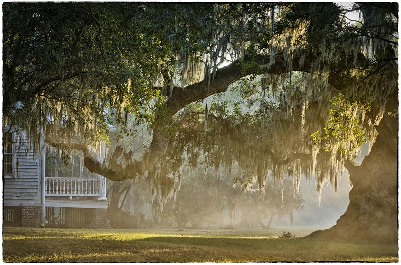 Oak in the fog, sunrise