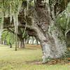 Favorite old oak