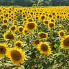 Sunflowers on Highway 178, SC