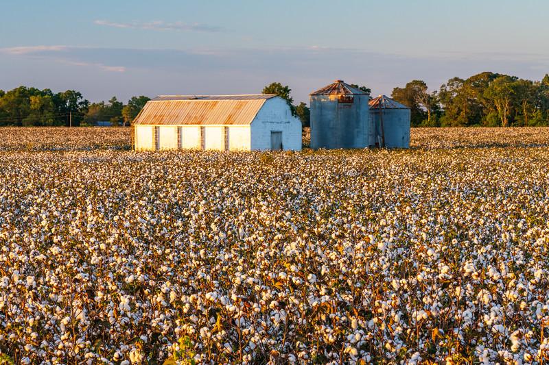 Carolina Cotton fields