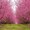 Peach orchard in full bloom