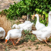 Geese keeping the bug population down in the vineyards