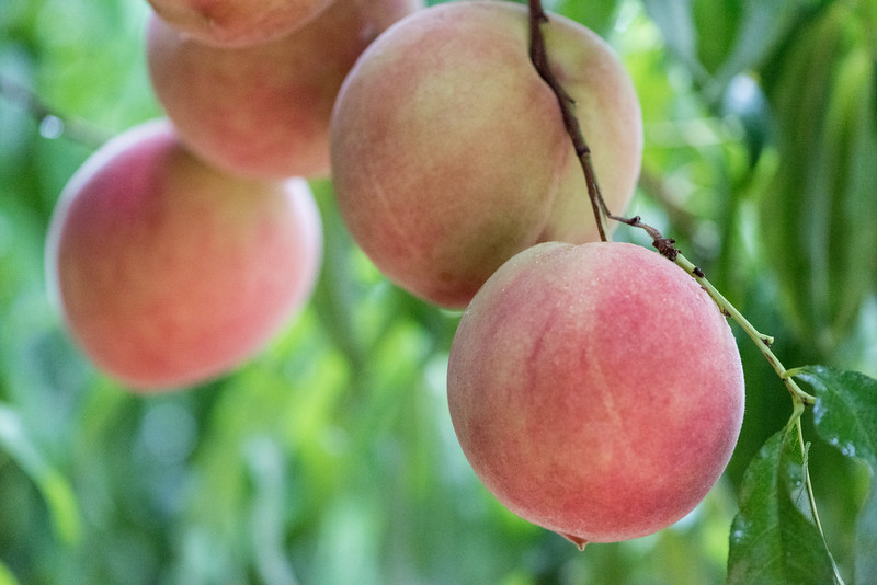 Peaches ready for harvesting