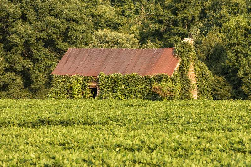 Soybean field with overgrown barn