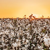 Carolina Cotton fields
