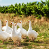 Geese in the vineyards