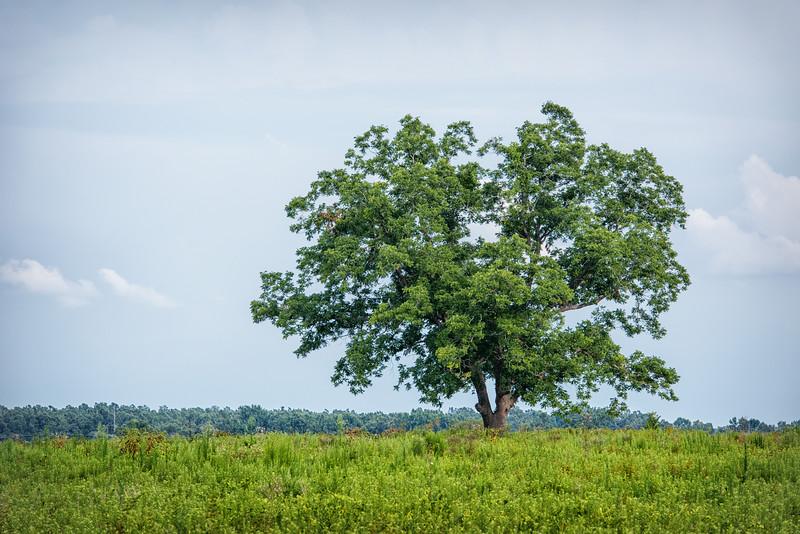Lone tree in field, SC