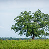 Lone tree in field, SC