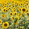 Field of sunflowers, Highway 178, SC