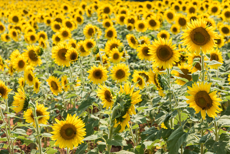 Field of sunflowers, Highway 178, SC