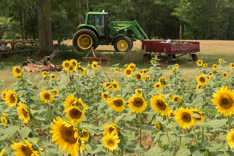 Sunflowers and the Little Red Wagon