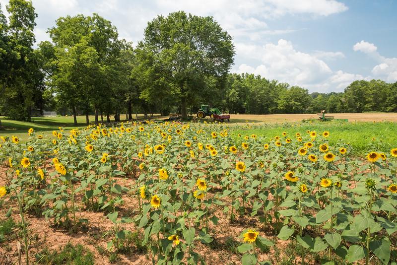 Sunflowers on the farm, Starr, SC