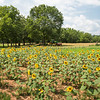 Sunflowers on the farm, Starr, SC