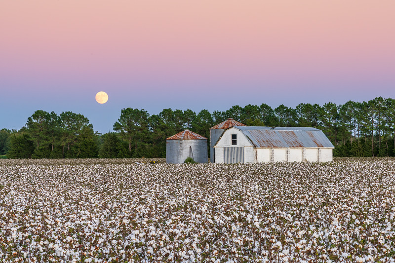 Moonrise over Carolina cotton field