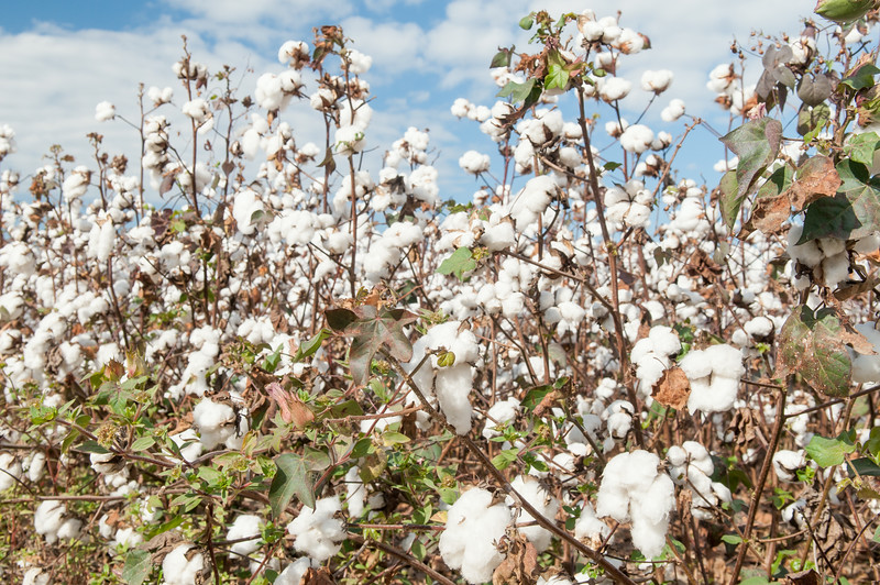 Cotton ready to harvest, SC 321