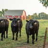 Black Angus cattle and red barn, Boiling Springs, SC