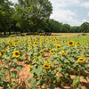 Sunflower Field, Starr SC