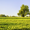 Soybean Field and Tree