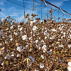 Fields of Cotton, ready for harvesting