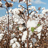 Cotton ready for harvest