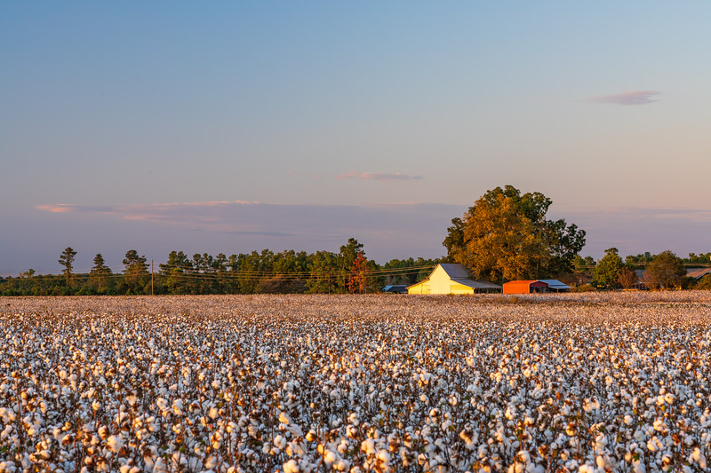 Field of cotton ready for the harvest