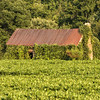 Soybean field and barn covered with Kudzu