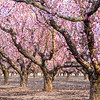 Peach blossom time, early Spring