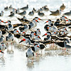 Skimmers on a sandbar in the St. Helena Sound, Beaufort, SC