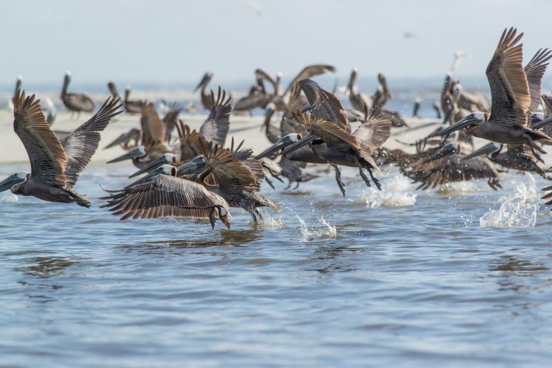 Brown Pelicans in St. Helena Sound, Beaufort, SC