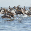 Brown Pelicans in St. Helena Sound, Beaufort, SC