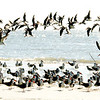 Skimmers, Terns and seagulls