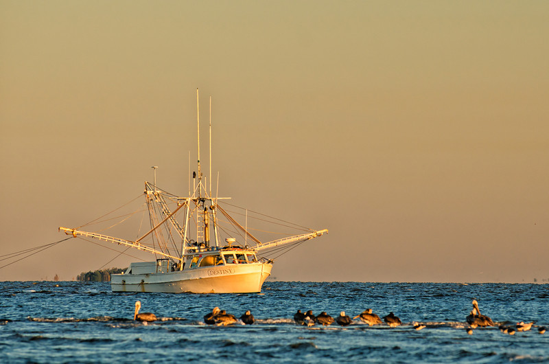 Shrimp boat and pelicans in the St. Helena Sound