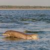 Dolphin following Shrimp Trawlers