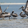Brown Pelicans getting airborne