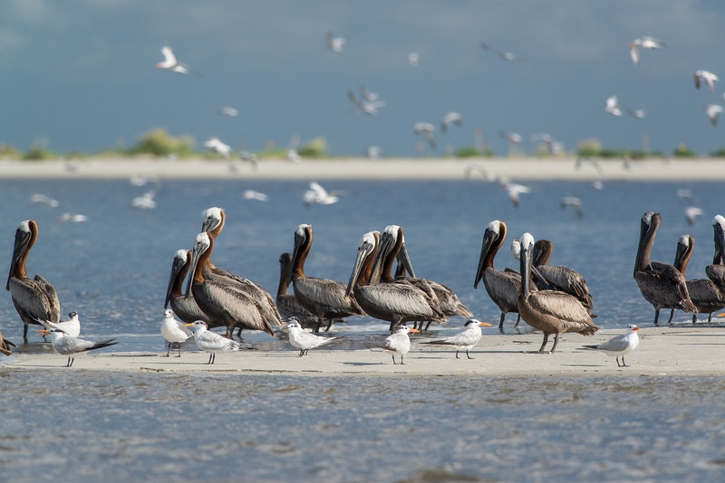 Pelicans and gulls on sandbars in the St. Helena Sound, Beaufort, SC