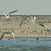 gulls and terns on the sandbars in the St. Helena Sound