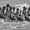 Pelicans on sandbar in the St. Helena Sound, Beaufort, SC
