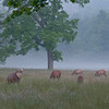 Elk grazing in Cataloochee Valley, NC