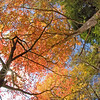 Tall trees with fall foliage, Du Pont Forest, NC
