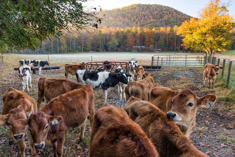 Calves at Gwynn Valley, NC