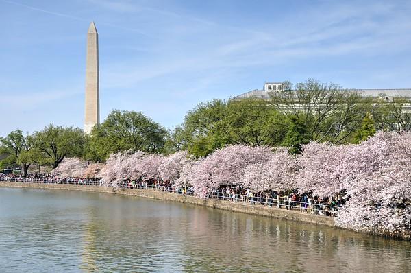 Cherry Blossom Spring Salute