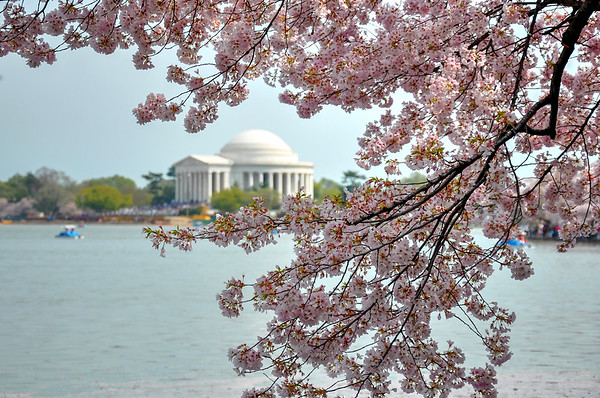 Cherry Blossoms Frame the Jefferson Monument