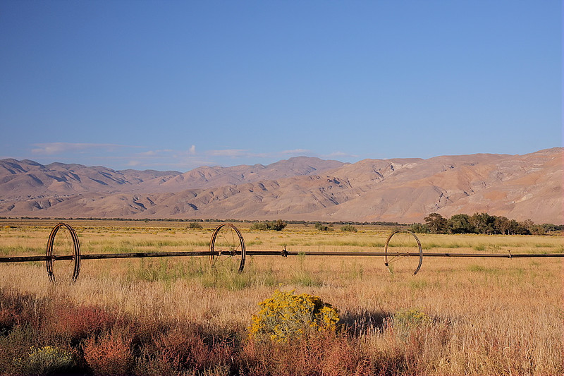 There's farmland between Fish Springs Road and the 395; it's used for grazing by a Tule Elk herd in Owens Valley. Here's the field in late-afternoon, with a rolling sprinkler system and the White Mountains in the background. The shrub with the yellow flowers is rabbitbrush; it was blooming everywhere in the valley, adding bright color to the earth tones of the area.