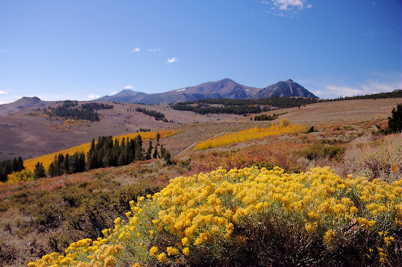 The yellow of blooming rabbitbrush once again brightly colors the landscape...