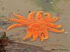 Sunflower Star, Pycnopodia helianthoides