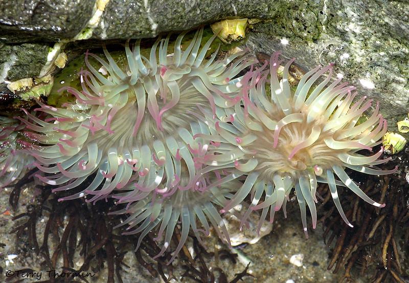 Aggregating Anenomes, Anthopleura elegantissima - Long Beach, B.C.